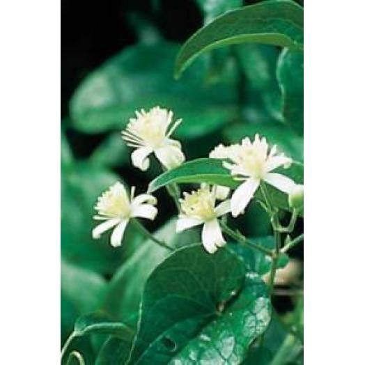 Bach Remedies Bach Clematis 20 ml