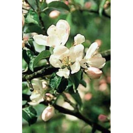 Bach Remedies Bach Crab Apple 20 ml