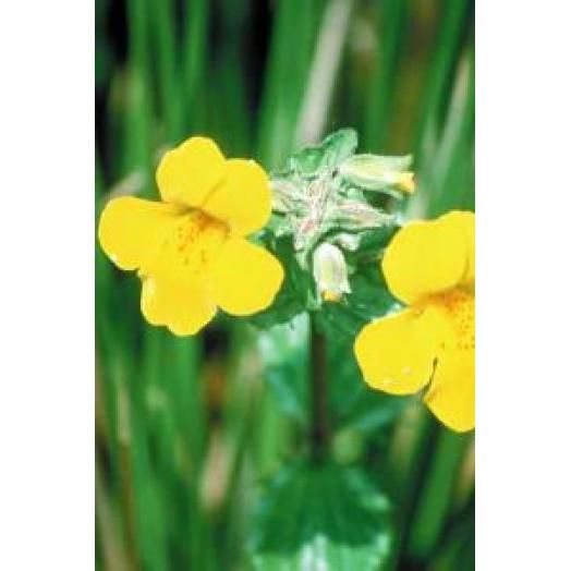 Bach Remedies Bach Mimulus 20 ml